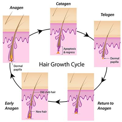 ciclo vita capelli